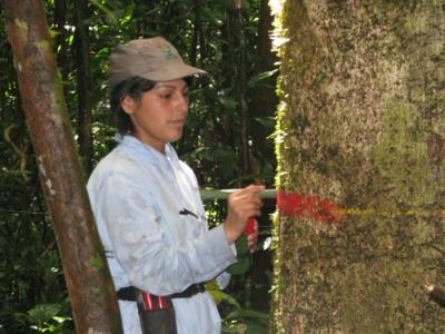 Marquage d'arbres au Pérou. – © Roel Brienen
