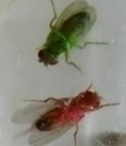 colored flies