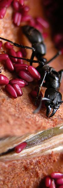 Pachycondyla-dianae-sur-Cecropia-hispidissima-©-Jérôme-Orivel