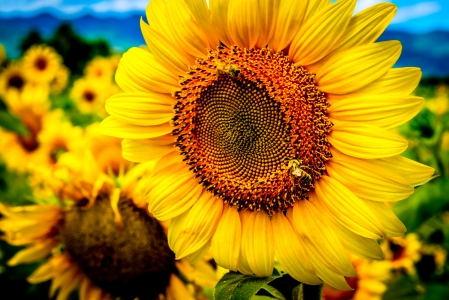 sunflower genome reveals orchestration of genes involved in oil production and flowering