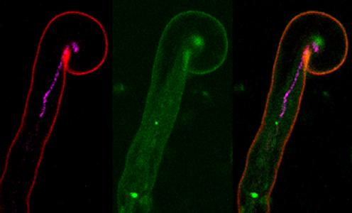 Complexe protéique nécessaire à la croissance polaire des cordons d'infection rhizobiens