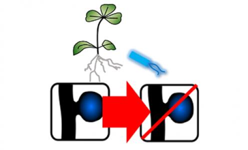 Dix nouveaux génomes de plantes éclairent l'évolution de la symbiose fixatrice d'azote