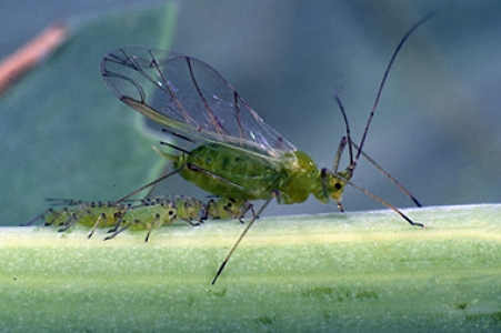 Evolution without genetic diversity? Pea aphid as a case study