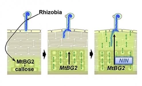 Intercellular communication regulates the formation of nitrogen-fixing nodules