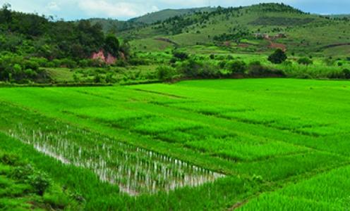 La dynamique du génome du riz révélée par le séquençage de 3 000 variétés