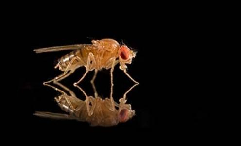 La mouche du fruit est capable de transmettre culturellement ses préférences d'appariement