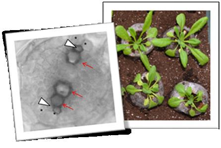 Le gène XND1 oriente la capacité d'Arabidopsis à répondre aux stress de l'environnement