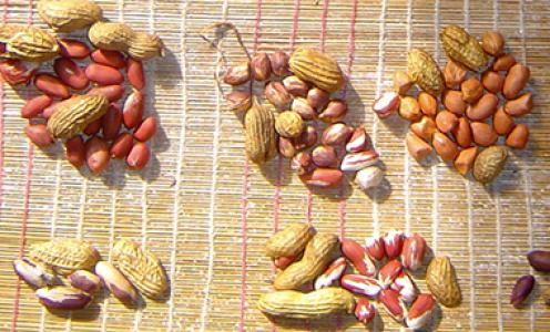 Le génome de l'arachide séquencé