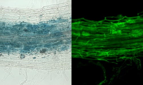 Positive Gene Regulation by a Natural Protective miRNA Enables Arbuscular Mycorrhizal Symbiosis