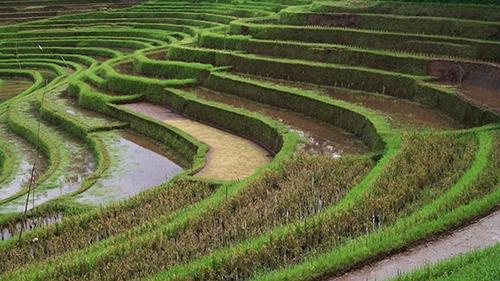 Les génomes de 13 espèces de riz sauvages et cultivés révélés