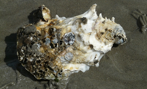 New breakthrough in understanding immune priming in Pacific oysters