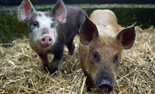 Ancient pigs reveal a near-complete genomic turnover following their introduction to Europe