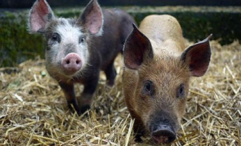 Porcs anciens révèlent un renouvellement génomique complet après leur introduction en Europe