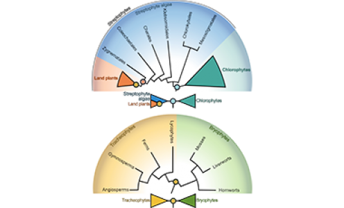 Reconstruire l'évolution des traits dans les études d'évo-développement des plantes