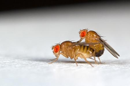 Rôle de la voie Toll dans le dimorphisme sexuel de réponse des mouches à une infection